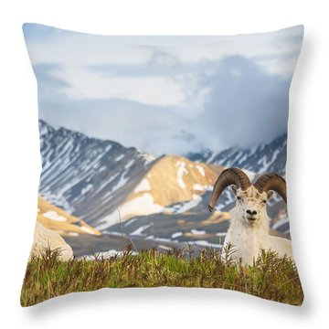 Two Adult Dall Sheep Rams Resting Throw Pillow by Michael Jones