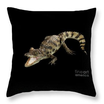 Young Cayman Crocodile, Reptile With Opened Mouth And Waved Tail Isolated On Black Background In Top Throw Pillow by Sergey Taran