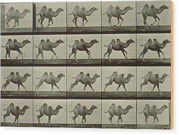 Camel Wood Print by Eadweard Muybridge