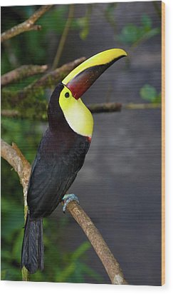Chestnut-mandibled Toucan, Ramphastos Wood Print by Thomas Wiewandt