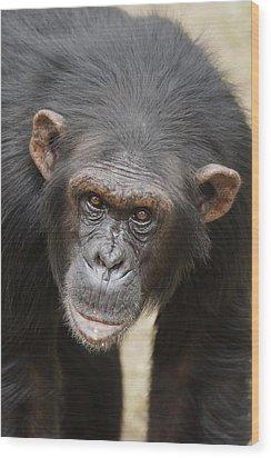Chimpanzee Portrait Ol Pejeta Wood Print by Hiroya Minakuchi