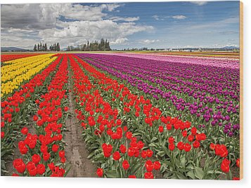 Colorful Field Of Tulips Wood Print by Pierre Leclerc Photography