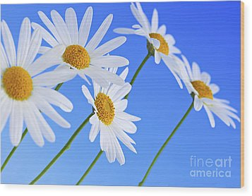 Daisy Flowers On Blue Background Wood Print by Elena Elisseeva