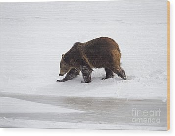 Grizzly Bear Walking In Snow Wood Print by Mike Cavaroc
