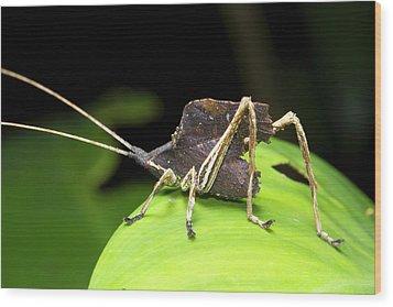 Leaf Mimic Bush-cricket Wood Print by Dr Morley Read