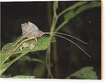 Leaf Mimic Katydid Wood Print by Dr Morley Read