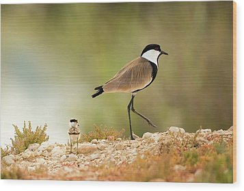 Spur-winged Lapwing Vanellus Spinosus Wood Print by Photostock-israel