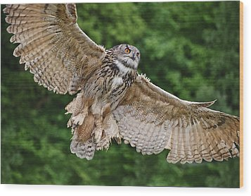 Stunning European Eagle Owl In Flight Wood Print by Matthew Gibson