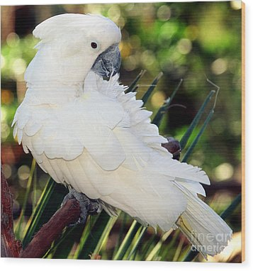 Sulfur-crested Cockatoo Wood Print by Millard H. Sharp