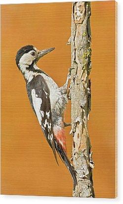 Syrian Woodpecker (dendrocopos Syriacus) Wood Print by Photostock-israel