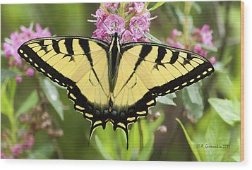 Wood Print featuring the photograph Tiger Swallowtail Butterfly On Milkweed Flowers by A Gurmankin