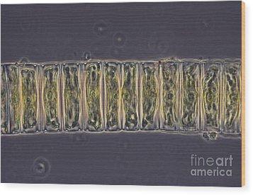 Ulothrix Sp. Algae, Lm Wood Print by David M. Phillips