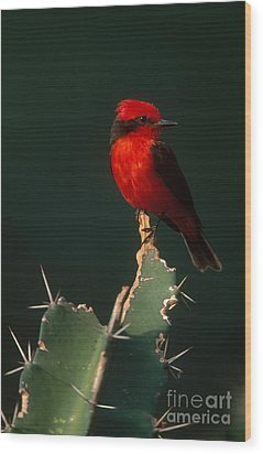 Vermilion Flycatcher Wood Print by Art Wolfe