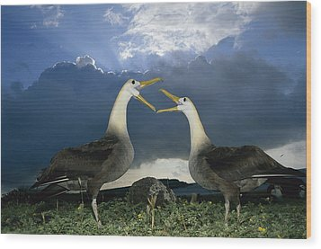 Waved Albatross Courtship Dance Wood Print by Tui De Roy