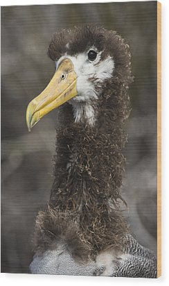 Waved Albatross Molting Juvenile Wood Print by Pete Oxford