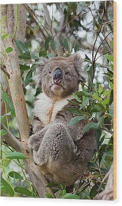 Koala (phascolarctos Cinereus Wood Print by Martin Zwick