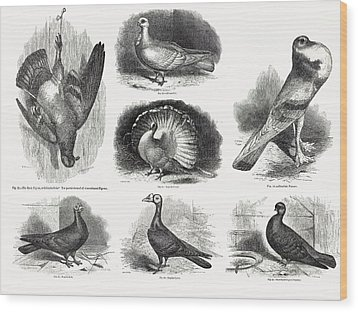 1868 Darwin Pigeon Breeds Illustration Wood Print by Paul D Stewart