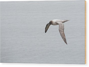 A Light Mantled Albatross Wood Print by Ashley Cooper