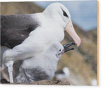 Black-browed Albatross (thalassarche Wood Print by Martin Zwick