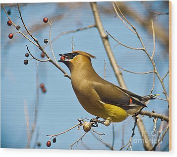 Cedar Waxwing With Berry Wood Print by Robert Frederick