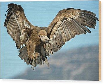 Griffon Vulture Flying Wood Print by Nicolas Reusens