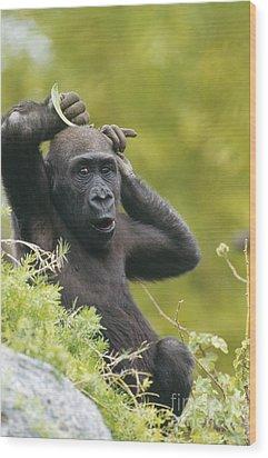 Lowland Gorilla Wood Print by Art Wolfe