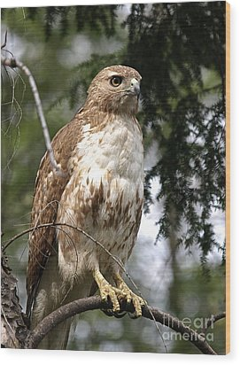 Red Tail Hawk 2 Wood Print by Peter Gray