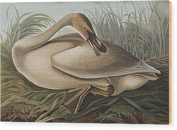 Trumpeter Swan Wood Print by John James Audubon