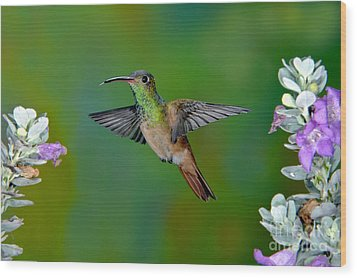 Buff-bellied Hummingbird Wood Print by Anthony Mercieca