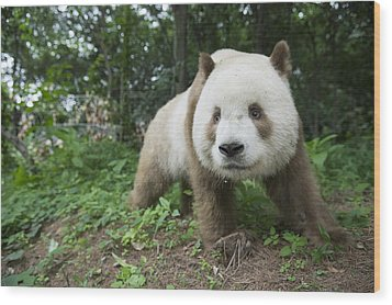 Giant Panda Brown Morph China Wood Print by Katherine Feng