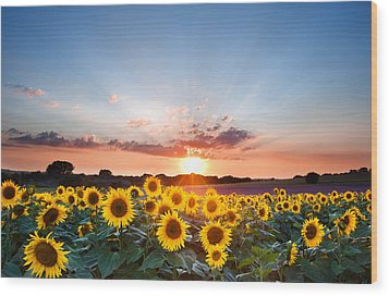 Sunflower Summer Sunset Landscape With Blue Skies Wood Print by Matthew Gibson
