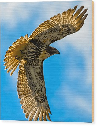 Red-tailed Hawk Wood Print by Brian Stevens