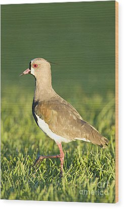 Southern Lapwing Wood Print by William H. Mullins