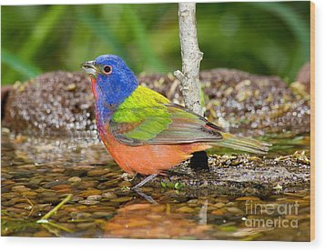 Painted Bunting Wood Print by Anthony Mercieca