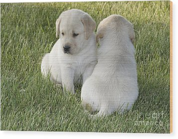 Yellow Labrador Puppy Wood Print by Linda Freshwaters Arndt