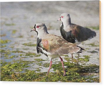 A Flock Of Southern Lapwings Wood Print by Ashley Cooper