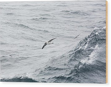 A Grey Headed Albatross Wood Print by Ashley Cooper