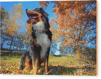 A Happy Bernese Mountain Dog Outdoors Wood Print by Michal Bednarek