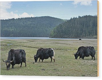 A Herd Of Yaks In Potatso National Park Wood Print by Tony Camacho