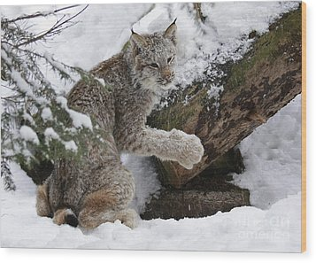 Adorable Baby Lynx In A Snowy Forest Wood Print by Inspired Nature Photography Fine Art Photography
