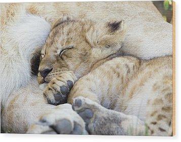 African Lion Cub Sleeping Wood Print by Suzi Eszterhas