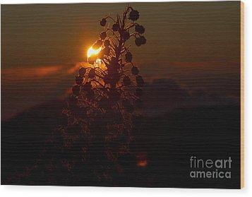 Ahinahina - Silversword - Argyroxiphium Sandwicense - Sunrise On The Summit Haleakala Maui Hawaii  Wood Print by Sharon Mau