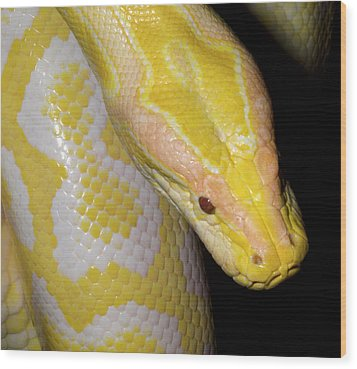 Albino Burmese Python Wood Print by Nigel Downer