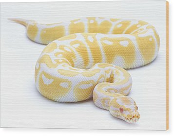 Albino Royal Python Wood Print by Michel Gunther