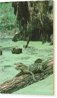 American Alligator Wood Print by Gregory G. Dimijian, M.D.