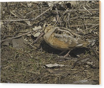 American Woodcock 1 Wood Print by Thomas Young