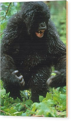 Angry Mountain Gorilla Wood Print by Art Wolfe