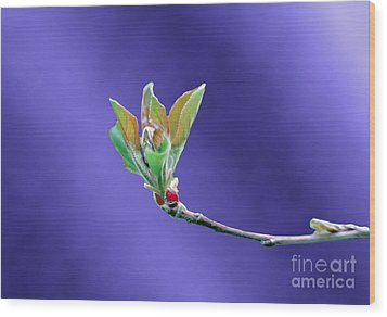 Apple Tree Blossom Spring Flower Bud Wood Print by ImagesAsArt Photos And Graphics