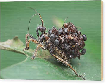 Assassin Bug Nymph With Ants Wood Print by Melvyn Yeo
