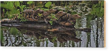 Baby Alligators Reflection Wood Print by Dan Sproul